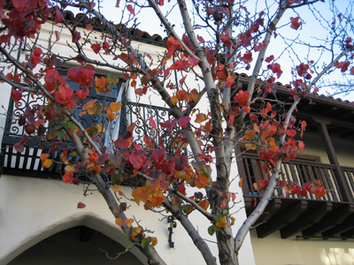 Palo_alto_leaves1