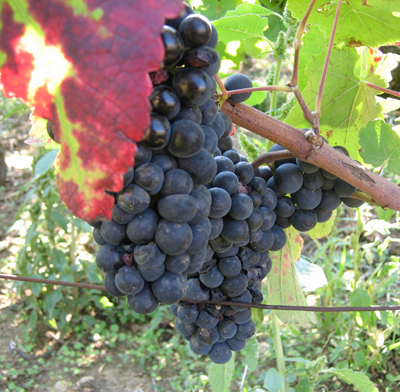 Burg_grapes_pinot1