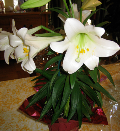 Easter_lily